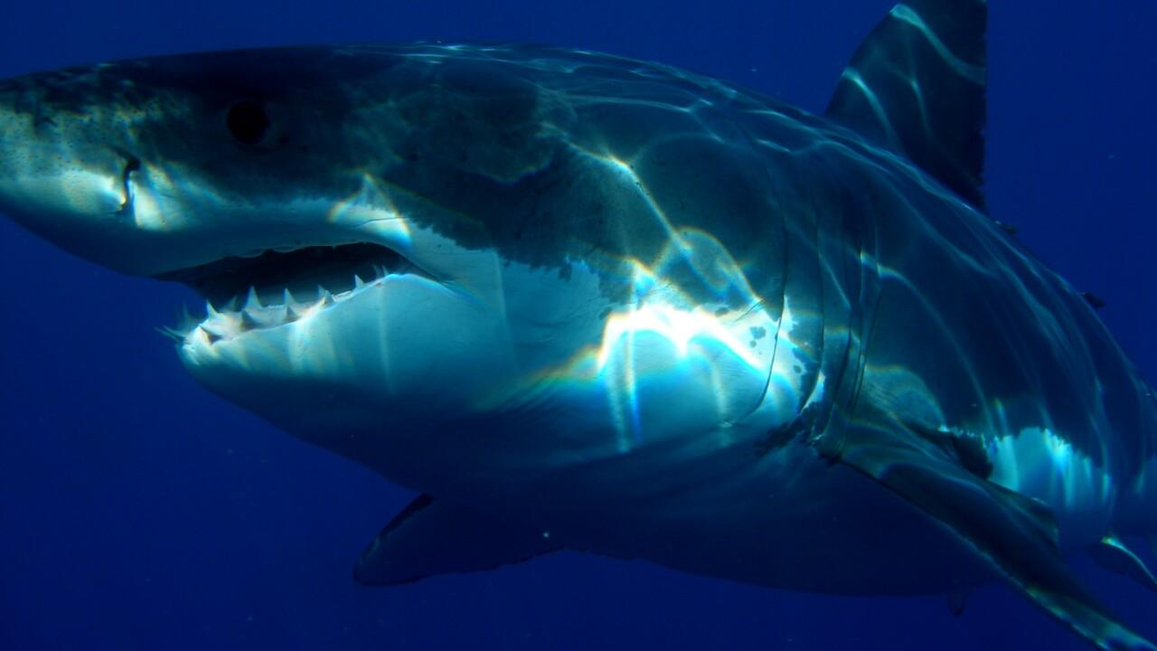 Grande squalo bianco avvistato nel Mar Ligure: esemplare da cinque metri