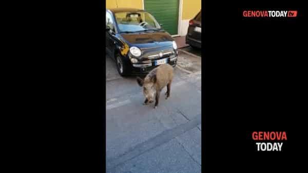 VIDEO | Cinghiale in via Berghini, un passante: «Ce l'hai l'autocertificazione?»