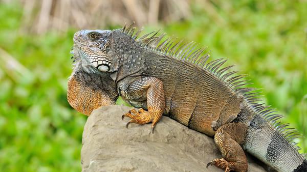 """""""Dragons"""", il Museo di Storia Naturale ospita 100 rettili (vivi) di tutti i tipi"""