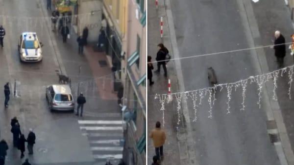 Cinghiali in città e 112 che dice di chiamare vigili o carabinieri ... 8402dabf397
