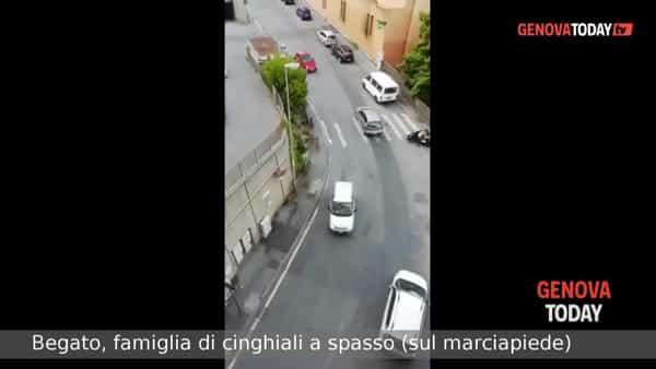 VIDEO | Cinghiali a passeggio (sul marciapiede) a Begato