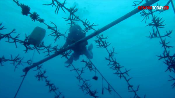 VIDEO | Dall'IIT di Genova i cerotti per salvare i coralli: come funzionano