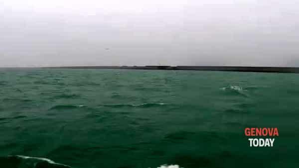 Orche riprese nel porto di Genova Pra'-Voltri: l'eccezionale video di un pescatore