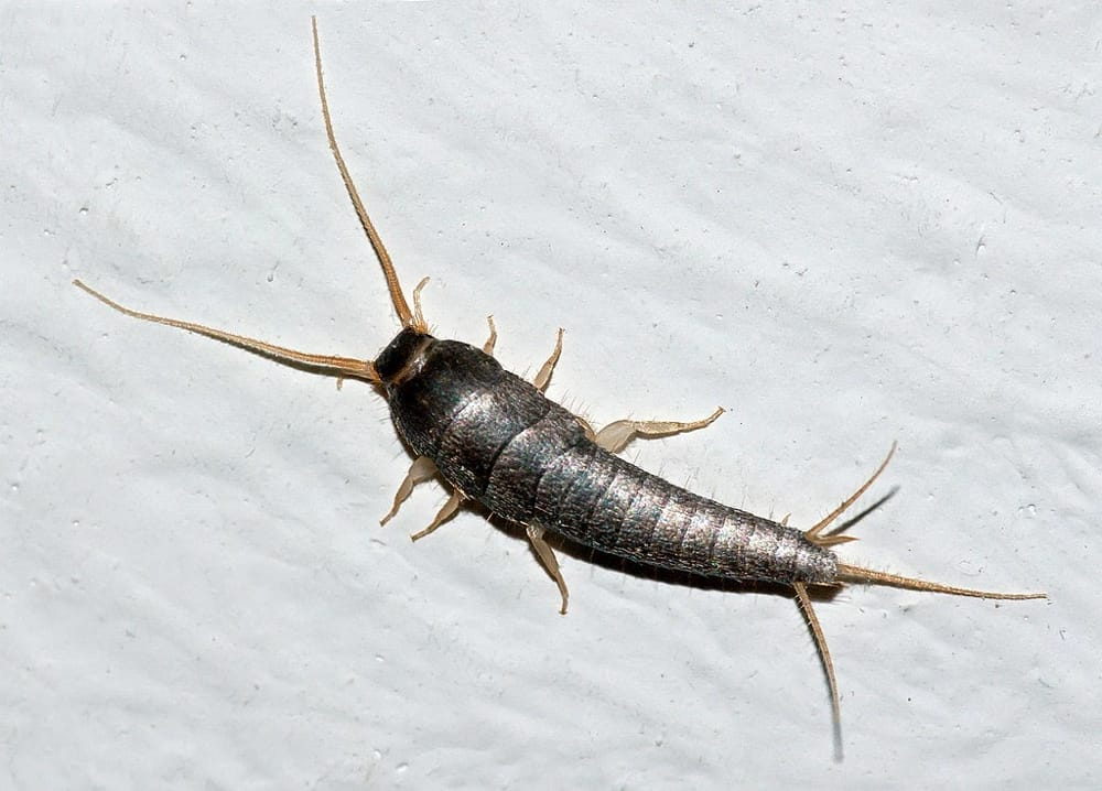 Pesciolini d\'argento insetti cosa sono rimedi